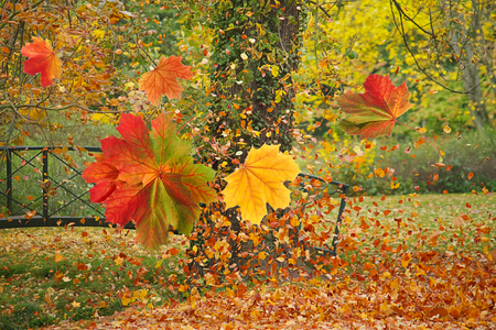 Falling leaves in a colorful autumn park on a windy day