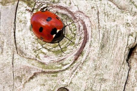 coccinellidae: Ladybug sitting on wood