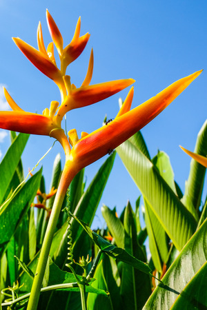Orange tropical plant with some ants in front of palm-leaves and clear blue sky