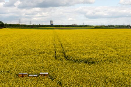 ruhr: A flowering rape field in front of a backdrop of industrial steel furnaces, chimneys in the Ruhr Area.