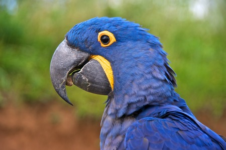 Hyacinth macaw (Anodorhynchus hyacinthinus), or hyacinthine macaw with a stone in its beak.