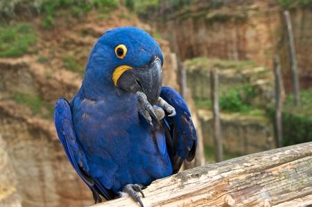 Hyacinth macaw (Anodorhynchus hyacinthinus), or hyacinthine macaw holding something in its claw.