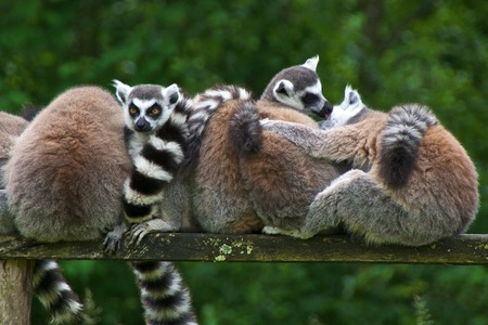 monkies: Group of ring-tailed lemurs (lemur catta) huddling together. Parc des FeÌ?lins, Lumigny-Nesles-Ormeaux, France.