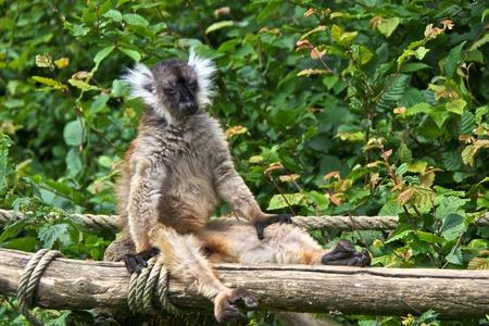 lia: Female black lemur (Eulemur macaco), sunbathingf. La Valle��e des Singes, Romagne, France.