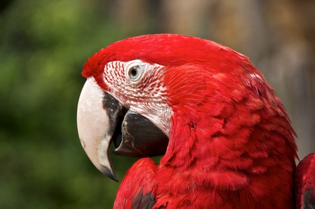 Animal portrait of a red-and-green macaw (Ara chloropterus), eyes wide open