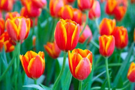 Orange yellow tulips in the spring photo