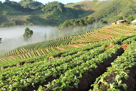 Beautiful landscape and fresh strawberries farm photo