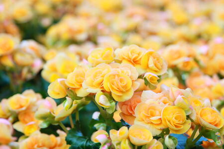 Begonia yellow flowers photo