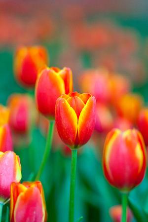 colorful flowers: Orange tulips