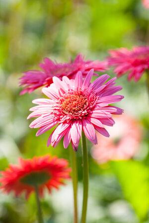 gebera: Gebera flower close up.