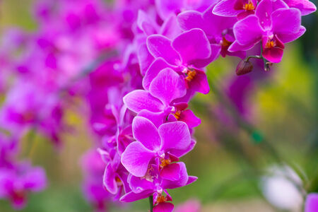 orchidea: orchid flower with buds background - beauty in nature Stock Photo