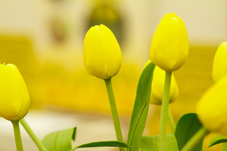 tulipa: Yellow tulips