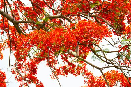 bloom bird of paradise: orange peacock flowers on poinciana tree