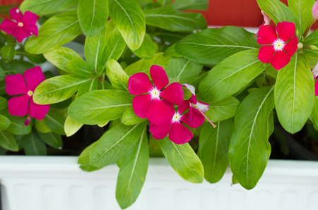 myrtle green: Beautiful pink vinca flowers (madagascar periwinkle)