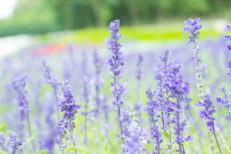 violet lavender flowers photo