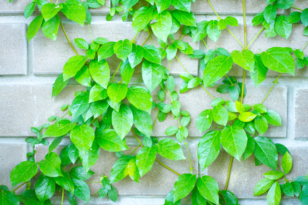 fig tree: Climbing fig tree and wall