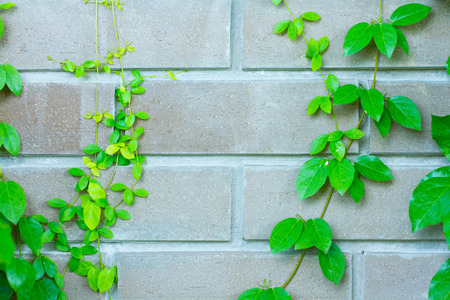 Climbing fig tree and wall