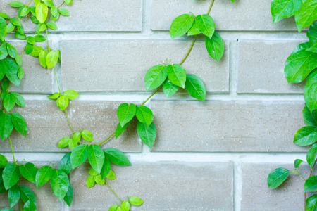 creeping fig: The Green Creeper Plant on the Wall