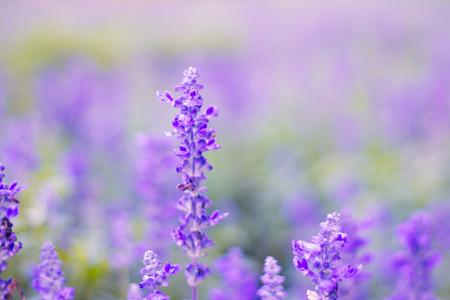 campo de flores: Campo de la lavanda en el verano