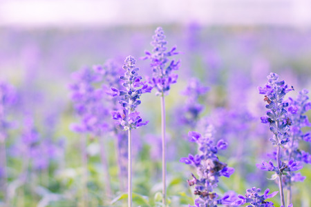 Beautiful flower background with Salvia farinacea Benth.(soft focus) photo