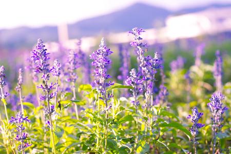 Blue Salvia farinacea Benth.(soft focus) photo