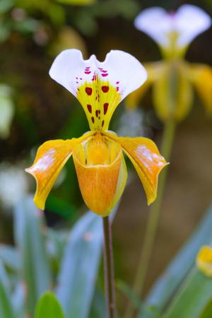 paphiopedilum: Flowers of Paphiopedilum orchid Stock Photo