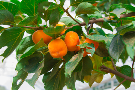 persimmon tree: Persimmon tree and bright orange persimmons contrast beautifully with their green leaves
