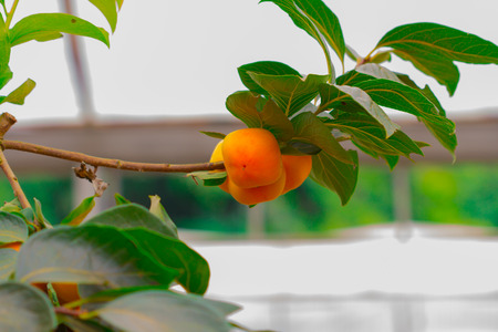 persimmon tree: Persimmon tree with fruit in the orchard
