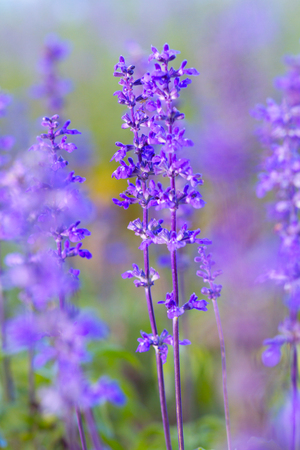 salvia: Blue Salvia (salvia farinacea) flowers blooming in the garden
