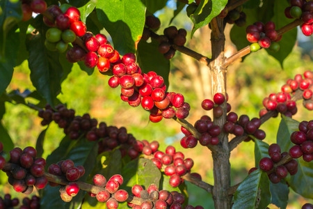unpicked: Coffee beans ripening on tree in North of thailand Stock Photo