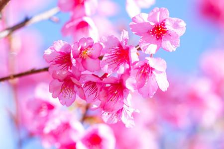 hintergrund himmel: Sakura rosa Bl�ten Hintergrund Himmel