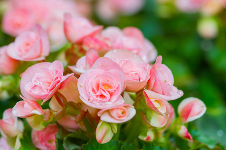 fibrous: Pink begonia or fibrous flower
