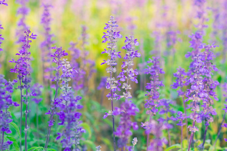Beautiful spring background with Salvia farinacea Benth. photo
