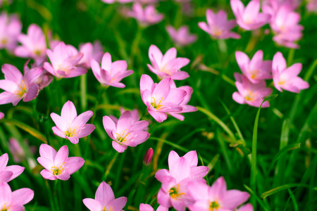 water spring: Zephyranthes Lily Rain Lily Fairy Lily Little Witches
