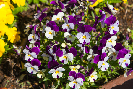 flamy: pansy, flower bed bloom in the garden.