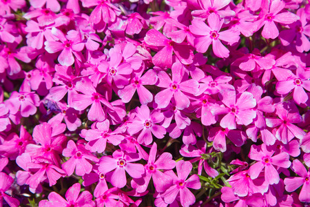 Pink moss phlox flowers and red of one side stock photo picture and pink moss phlox flowers and red of one side stock photo picture and royalty free image image 50244750 mightylinksfo