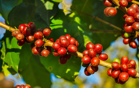 unpicked: Coffee beans ripening on tree in North of Thailand