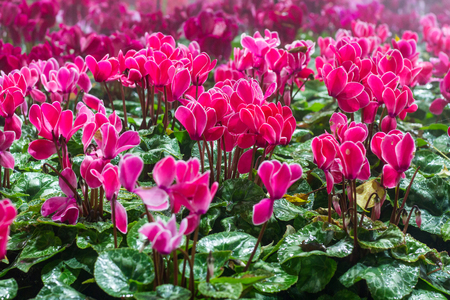 sowbread: Winter flowers: cyclamen flowers in greenhouse, close-up