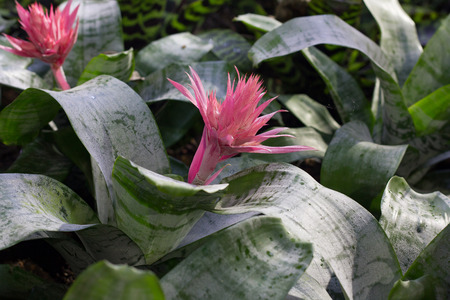 aechmea: bromeliad flower in bloom in springtime Aechmea fasciata, Bromeliaceae Stock Photo