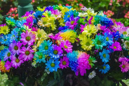 barberton daisy: Colorful daisy flower closeup Colorful Pyrethrum Stock Photo
