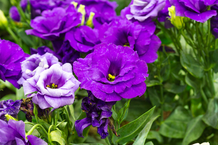 colorfully: Violet gloxinia in brown pot on the border