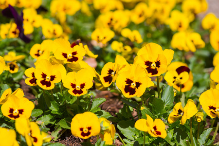 flamy: Yellow tricolor pansy, flower bed bloom in the garden.