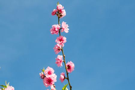 stamen wasp: Beautiful peach blossom