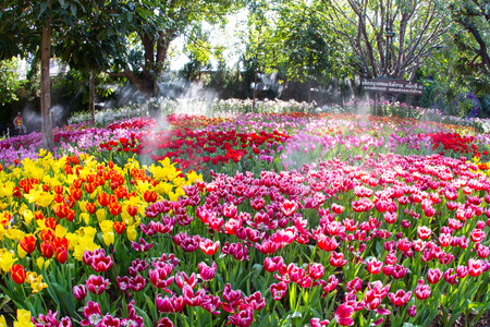 CHIANG RAI, THAILAND - JANUARY 29 : Tulip field in Grand opening 12th Chiang Rai Flower Festival  music in the park 2015 NOV 23,2015 - JAN 31,2016 at Chiang rai province, Thailand