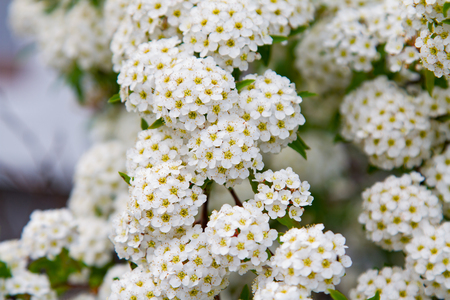 guelderrose: spring blooming guelder-rose shrub, round white flowers