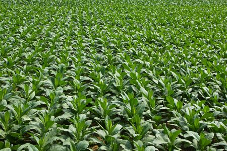 tobacco plant: Tobacco field  in northern Thailand Stock Photo