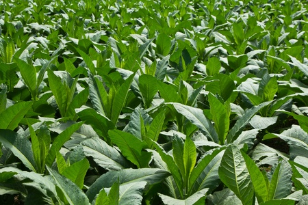 nicotine: Tobacco Plant in northern Thailand Stock Photo