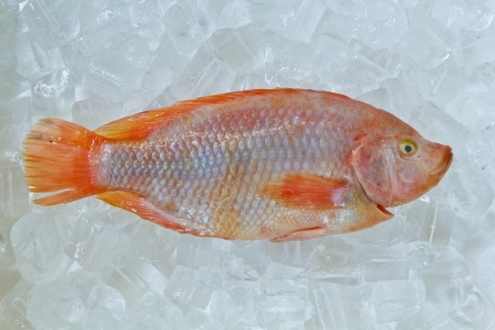 Fresh red nile tilapia fish (Oreochromis niloticus) on ice photo