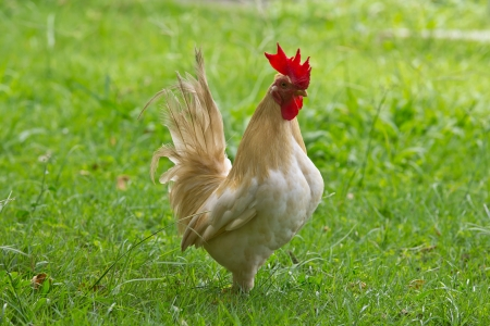 crowing: White cock on green yard