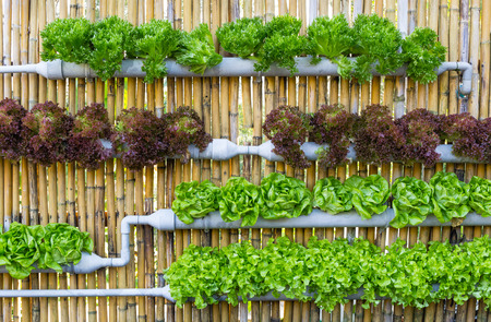 vertical: Organic hydroponic vegetables Vertical garden